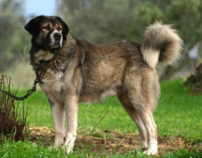 GREEK SHEEPDOG