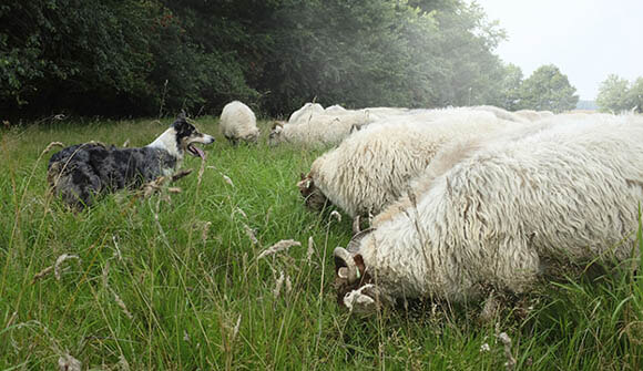 SHEEPDOG GUIDE, INFO, TIPS & MANUALS
