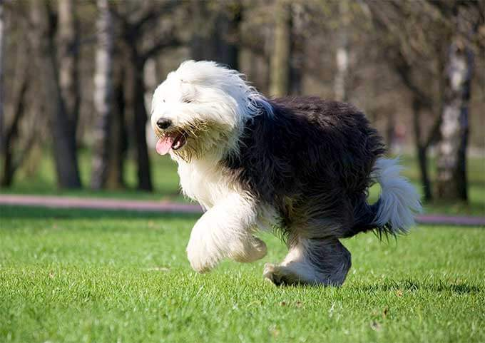READ OLD ENGLISH SHEEPDOG FACTS at WWW.YOURPUREBREDPUPPY.COM