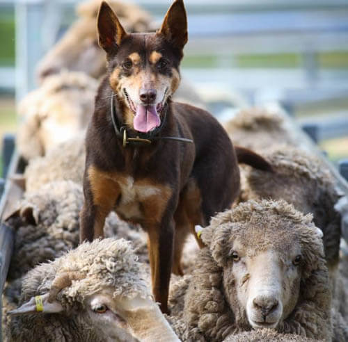 TRAINING A SHEEPDOG