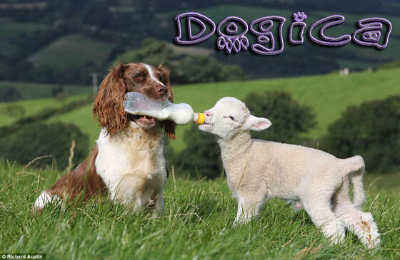 SHEEPDOG & FARM DOGS