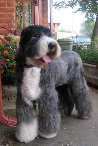 CHECK THE GROOMING - HAIRCUTS OF OLD ENGLISH SHEEPDOGS at WWW.PINTEREST.COM