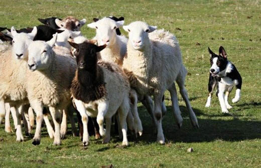 TRAINING A SHEEPDOG - SHEEP TYPES