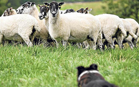 DUTIES OF SHEEPDOG
