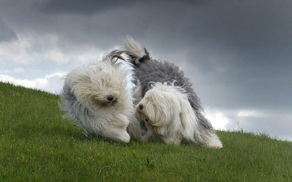OLD ENGLISH SHEEPDOGS at WWW.AKC.ORG