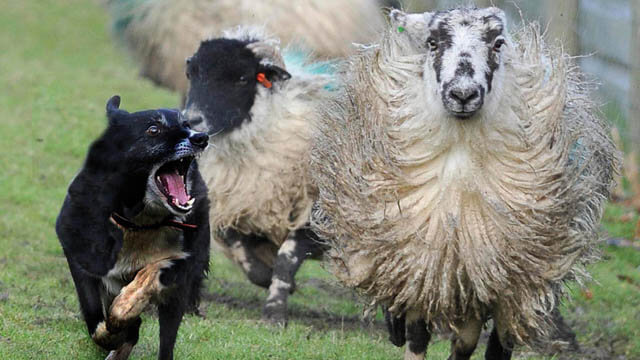 BUYING A SHEEPDOG GUIDE
