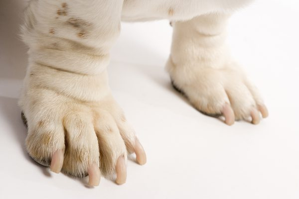 DOG'S PAW PREFERENCE, HOW TO DETERMINE