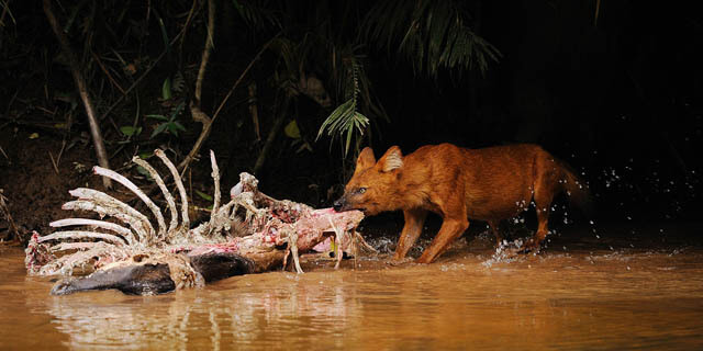 ASIATIC WILD INDIAN DOGS - DHOLES