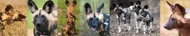 AFRICAN WILD DOGS IMPACTS: AGRICULTURAL, NATURAL