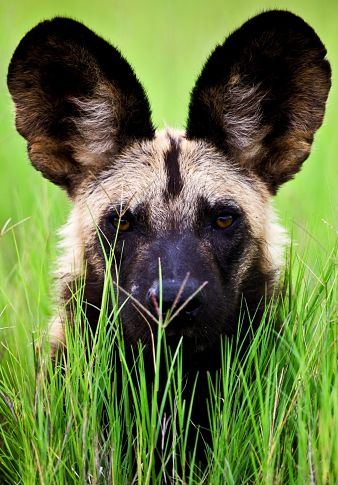 AFRICAN WILD DOGS & PUPPIES FACTS, INFORMATION, Pictures, Photo, Video, Size