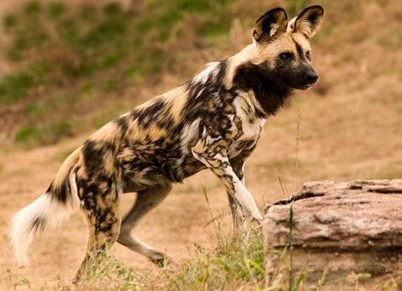 WILD DOGS & PUPPIES - PHYSICAL DESCRIPTION