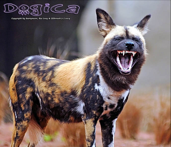 WILD DOGS & PUPPIES HISTORY, ORIGINS, Infographic, Infogram, Pictures, Photo, Video, Size