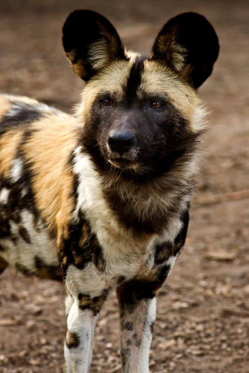WILD DOGS CONTROL