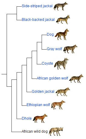 AFRICAN WILD DOGS EVOLUTION - HISTORY AND ORIGINS
