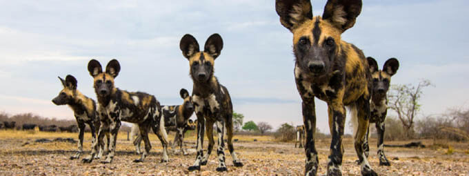 AFRICAN WILD DOGS HISTORY & ORIGINS