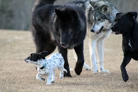 DOG BREEDS CLOSEST TO WOLVES