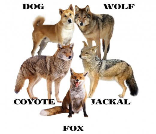 DOG vs WOLF COMPARISON: DIFFERENCE & SIMILARITY