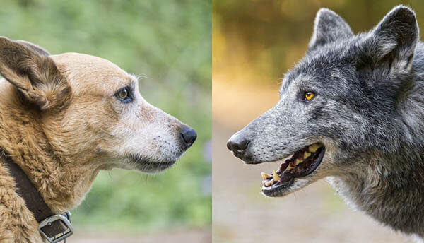 RISK-TAKING COMPARISON IN DOGS & WOLFS