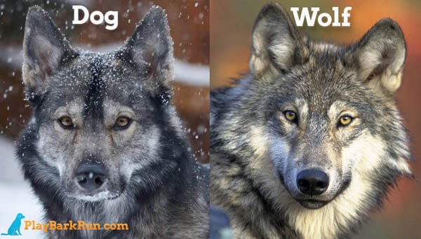 PET DOG vs WOLF