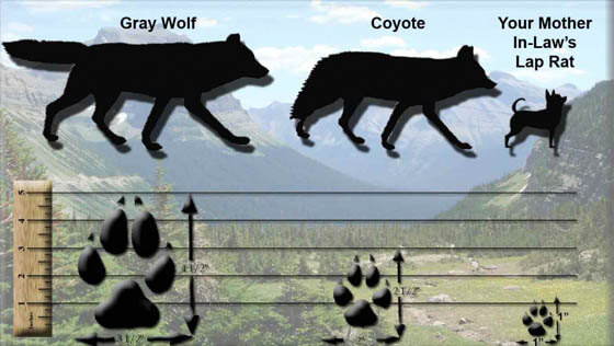 DOG vs WOLF PAWS & STEPS DIFFERENCE