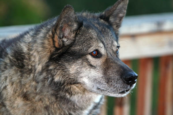 DOG AND WOLF DIET, FOOD, RECIPES, HEALTH