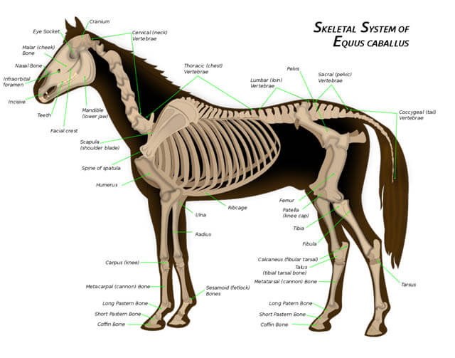 DOG AND HORSE, DOG VS HORSE ANATOMY - DIFFERENCES & SIMILARITIES