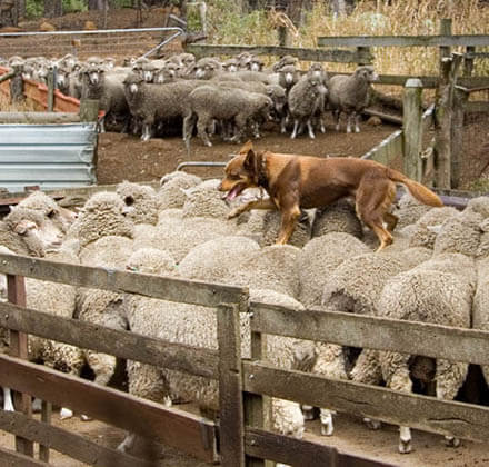 SHEEPDOG TRIALS, TRAILS