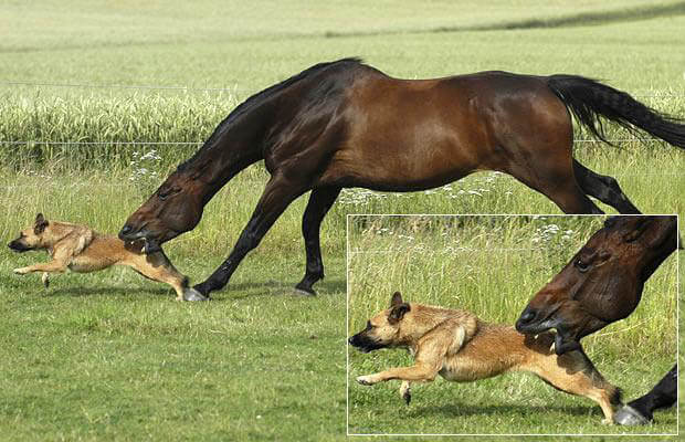 HOW TO CHOOSE A BEST DOG FOR HERDING, WORKING, RIDING ON HORSE