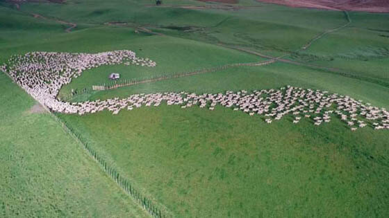 MASS SHEEP HERDING SESSION !